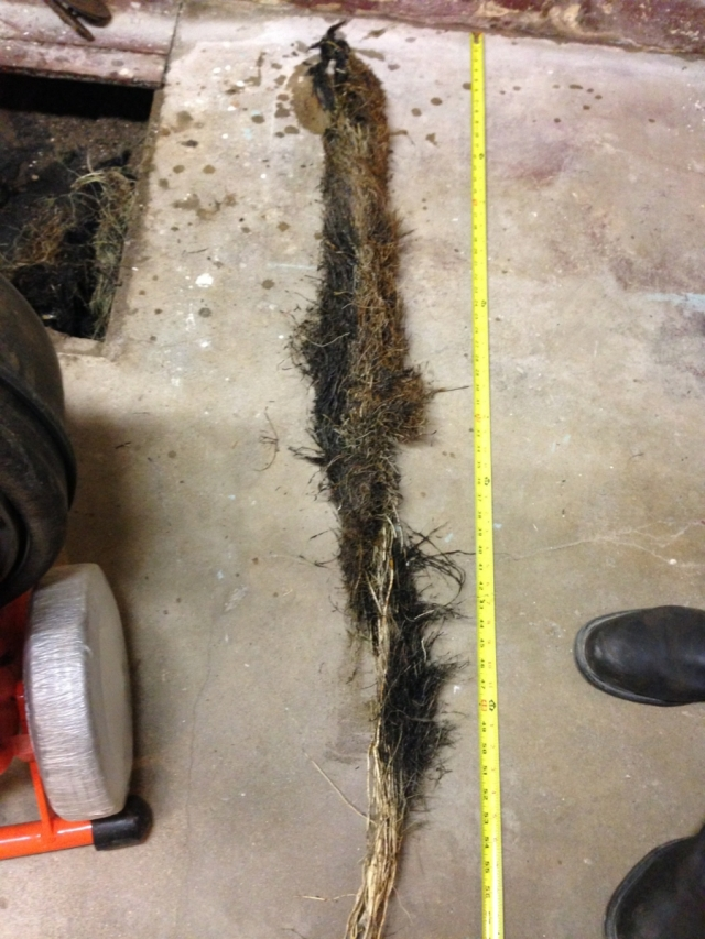 Main Sewer Line Tree Roots